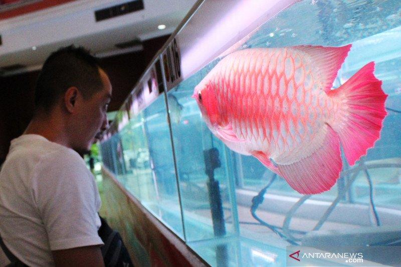 Kontes ikan Arwana super red di Pontianak