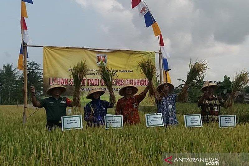 Petani Kota Magelang panen padi 12,64 ton/hektare, rekor tertinggi