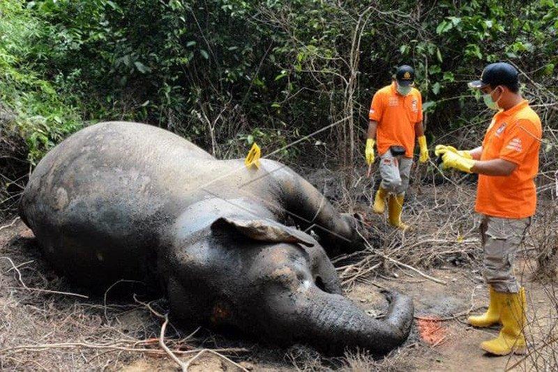 Polisi  periksa enam saksi terkait kematian gajah di Aceh Timur
