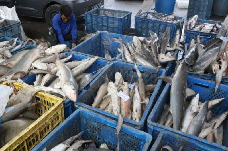 Tangkapan hiu di perairan Papua