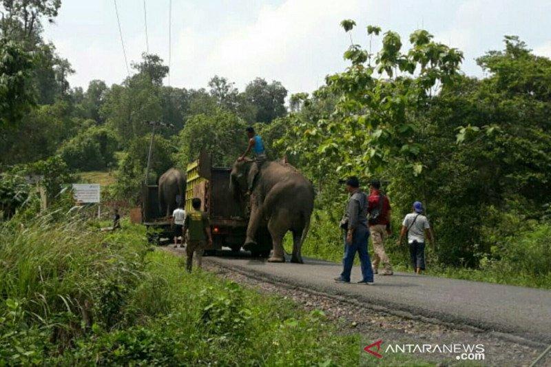 Delapan gajah korban konflik dikembalikan ke Lahat