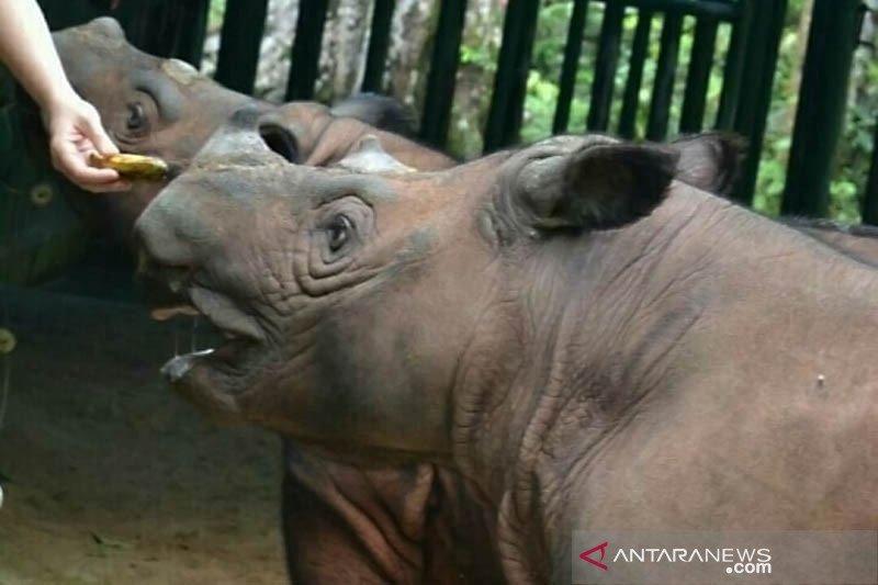 Populasi badak sumatera terbanyak ada di TN Way Kambas