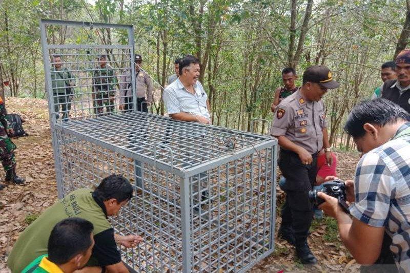 Sumatran tiger trapped in Muara Enim