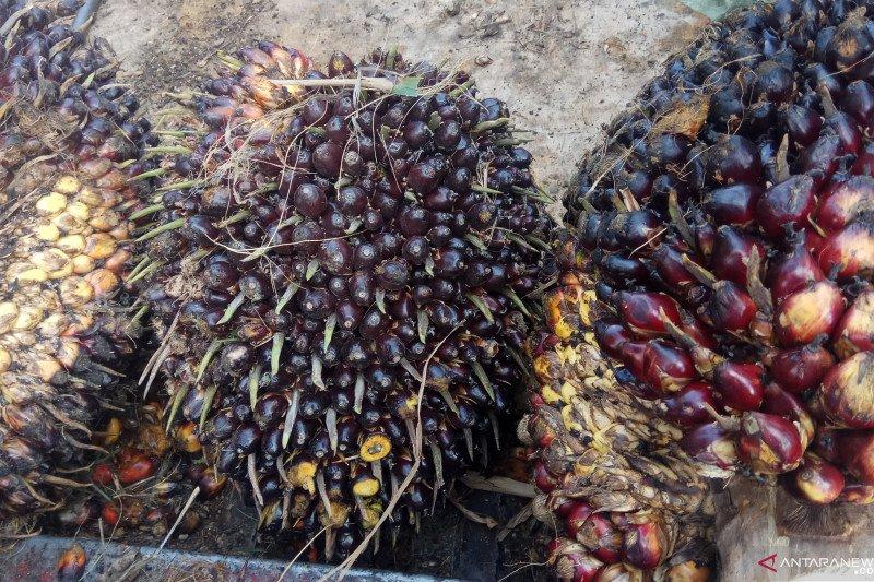 Harga kelapa sawit di Mesuji Lampung turun, petani mengeluh