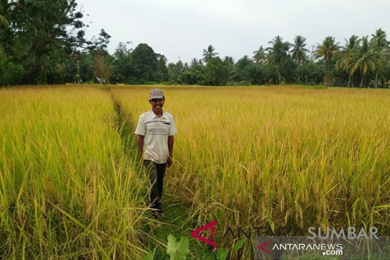 Dalam 10 bulan, Agam produksi 336.432 ton padi
