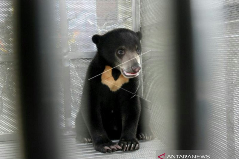 Seorang warga OKU tewas  diserang beruang madu
