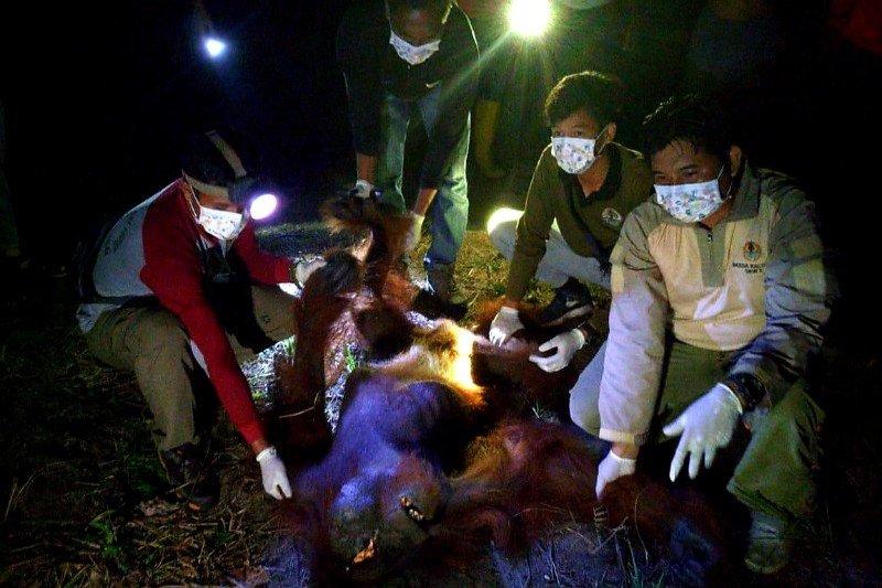 OFI berharap kepolisian segera temukan pelaku penyiksaan Orangutan di Seruyan