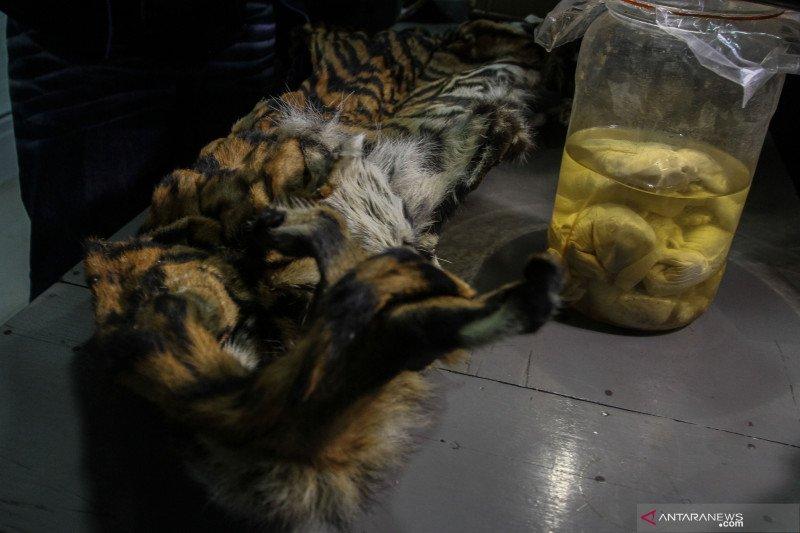Gakkum LHK dan Polri membekuk pelaku perburuan harimau sumatera di Riau