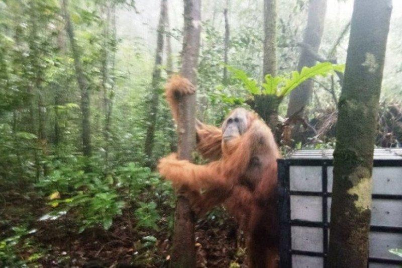BBKSDA lepasliarkan satu orangutan di Cagar Alam Sibual-buali