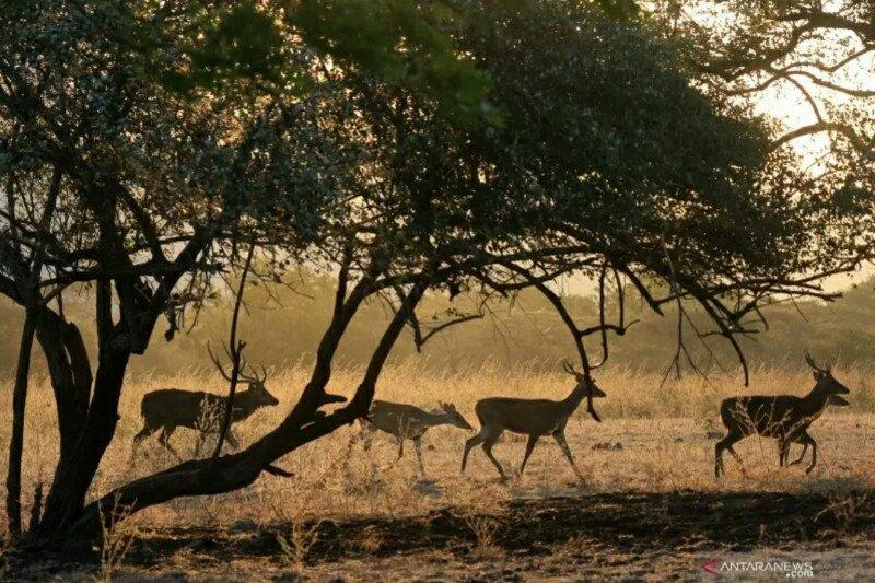 BKSDA: Sumber makanan menipis sebabkan harimau ke luar teritorial