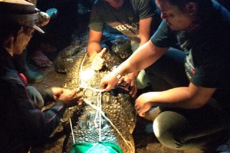 Buaya yang kerap muncul di alisan sungai Batanghari di Desa Lambur Jambi, ditangkap
