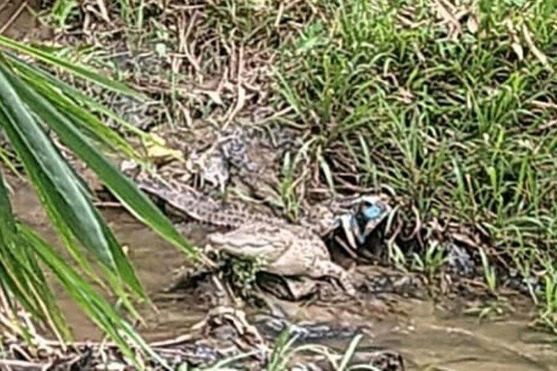 Cari buaya yang meresahkan warga, BKSDA telusuri Sungai Batang Tapakis