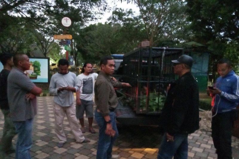 BKSDA Agam titip kijang bunting ke TMSBK Bukittinggi