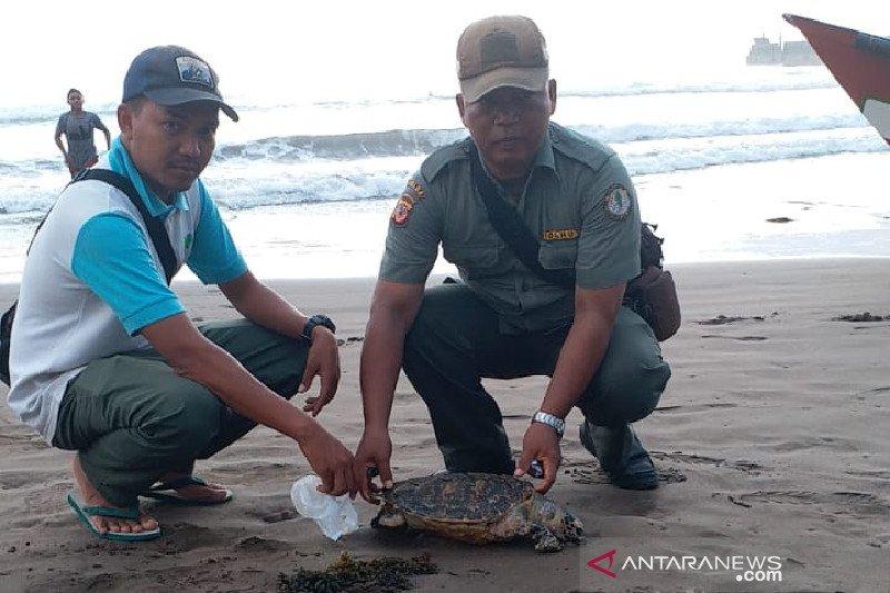 KSDA temukan penyu mati diduga terjerat alat pancing di Pangandaran