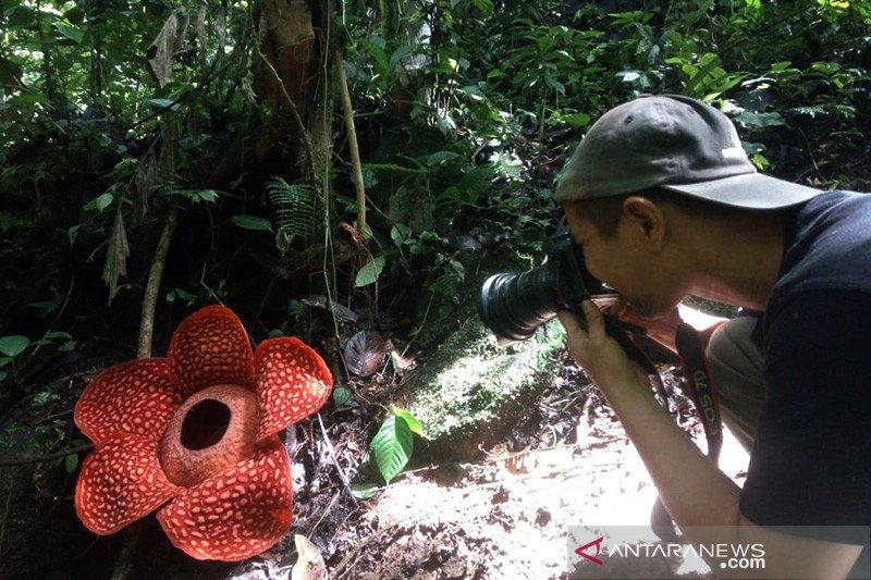 Bunga Rafflesia yang mekar di Agam berdiameter satu meter lebih