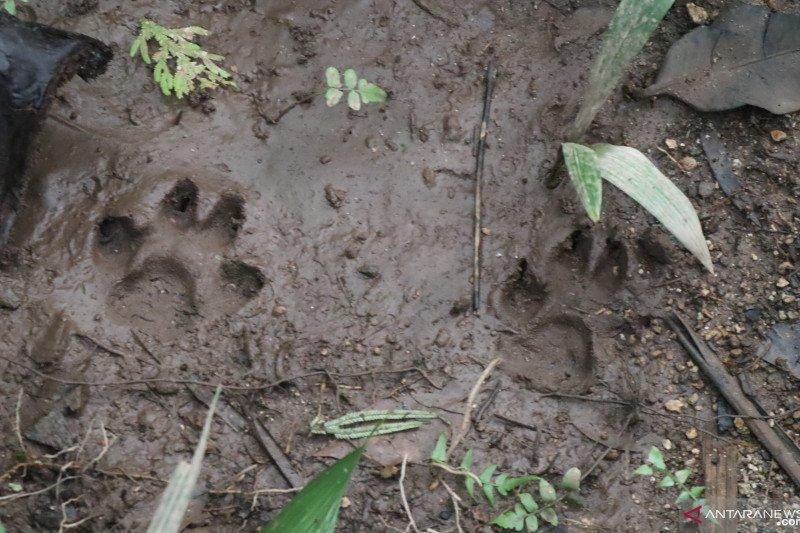 Warga Padang Pariaman diresahkan dengan harimau berkeliaran di kebun (Video)