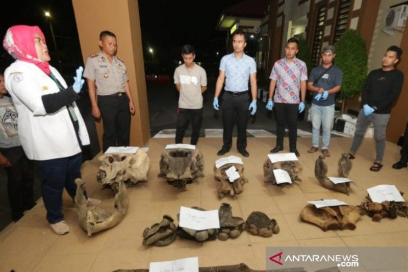 Polisi menyelidiki penemuan lima bangkai Gajah Sumatera di Aceh Jaya