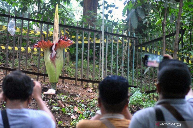 Bunga Bangkai Mekar Sempurna Di Kebun Raya Bogor Antara News Bali