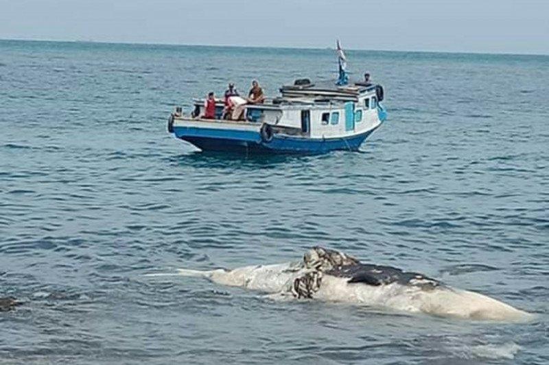 Bangkai paus ditemukan nelayan di Perairan Sebesi