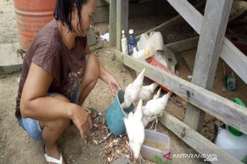 Bantuan ayam ternak untuk Wanita Rawan Sosial Ekonomi di Gumas