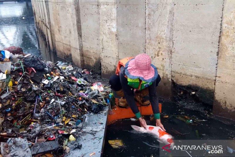 Petugas kebersihan temukan Ikan koi seberat tiga kilogram saat bersih-bersih sampah sisa banjir