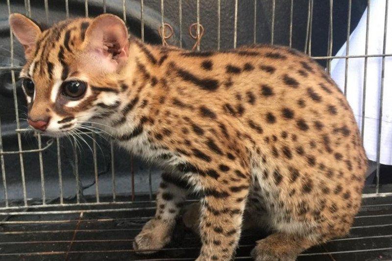 BBKSDA terima peyerahan seekor kucing kuwuk
