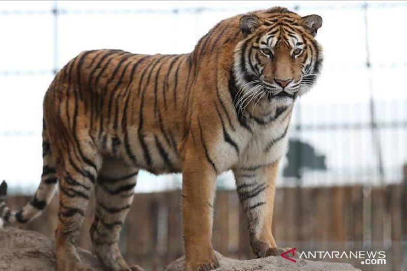 BKSDA Sumsel imbau  masyarakat OKU waspadai harimau