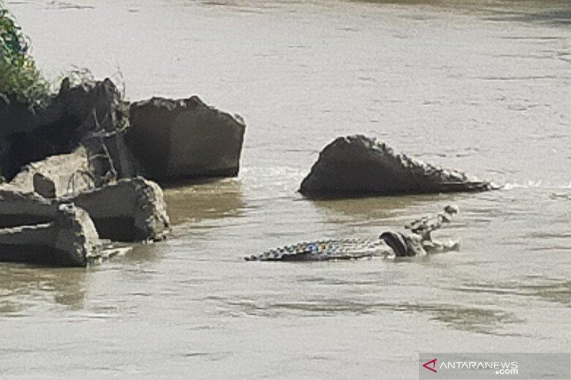 Buaya berkalung ban kembali muncul di sungai Palu