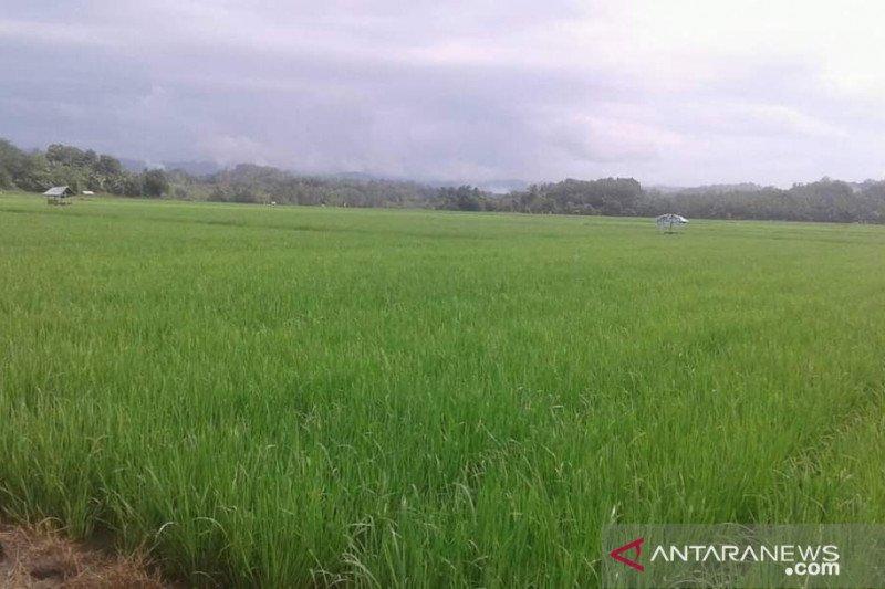 Tingkatkan produktivitas padi, Sultra dorong petani tanam varietas unggulan