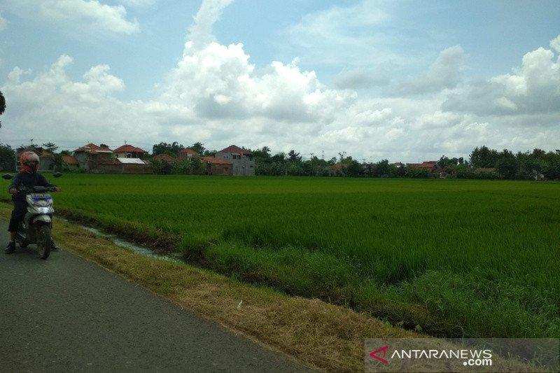 Luas areal tanaman padi di Kudus 9.228,4 hektare