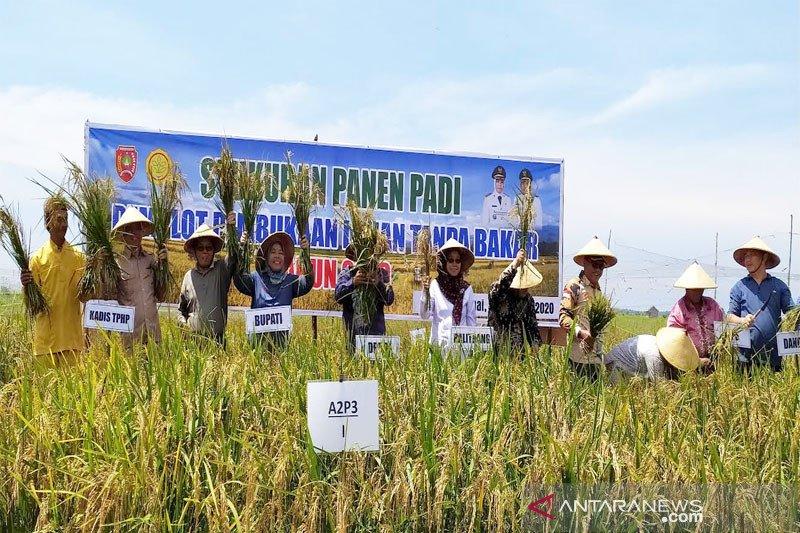 Bupati Kobar panen padi perdana di lahan tanpa bakar