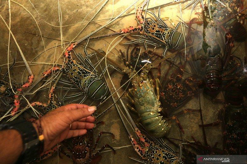 Ketua Komisi IV DPR: Revisi aturan ekspor lobster belum berlaku