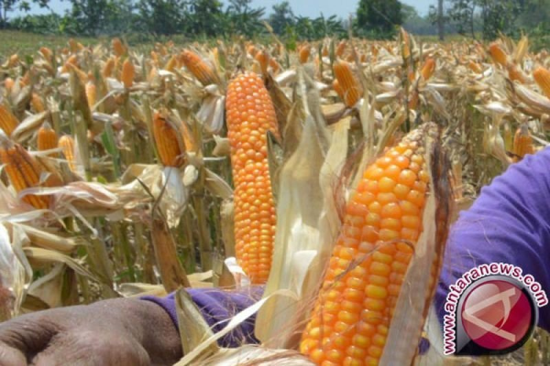 Gubernur Sulsel luncurkan dua varietas jagung baru di Lejja Soppeng