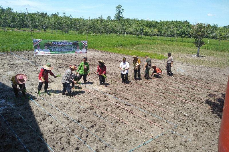 Gubernur Kalteng tanam dan sediakan mesin penggilingan padi