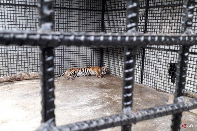 Kondisi harimau sumatera di TWNC