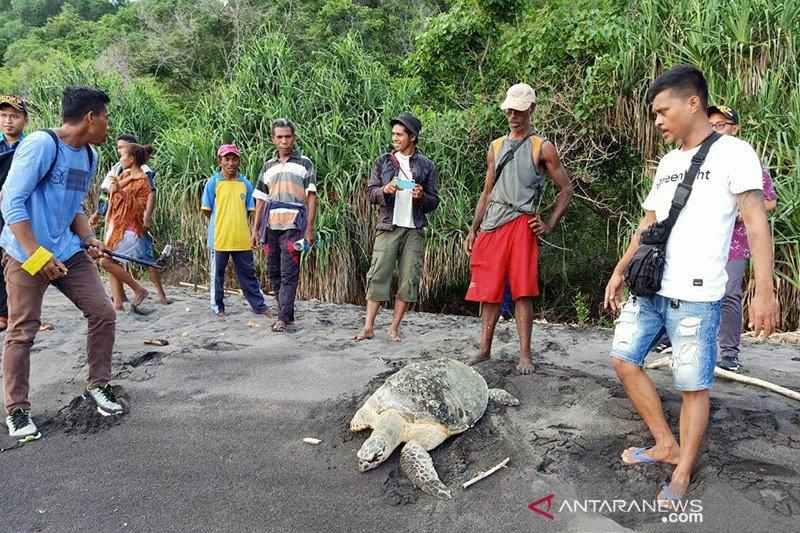 Nelayan Flores Timur selamatkan dua ekor penyu hijau