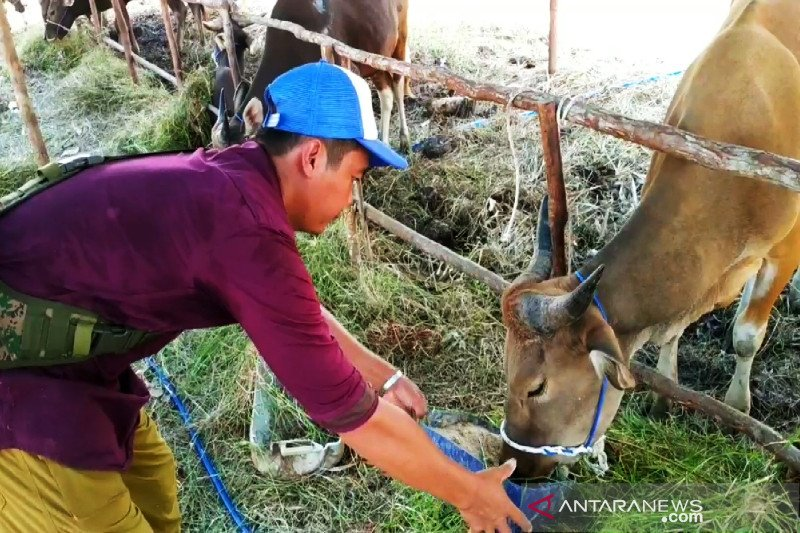 Kotim perlu sekitar 23.000 sapi untuk capai swasembada daging