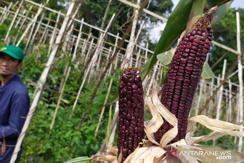 Ingin lihat jagung pelangi asal Amerika Latin, ada di Cianjur