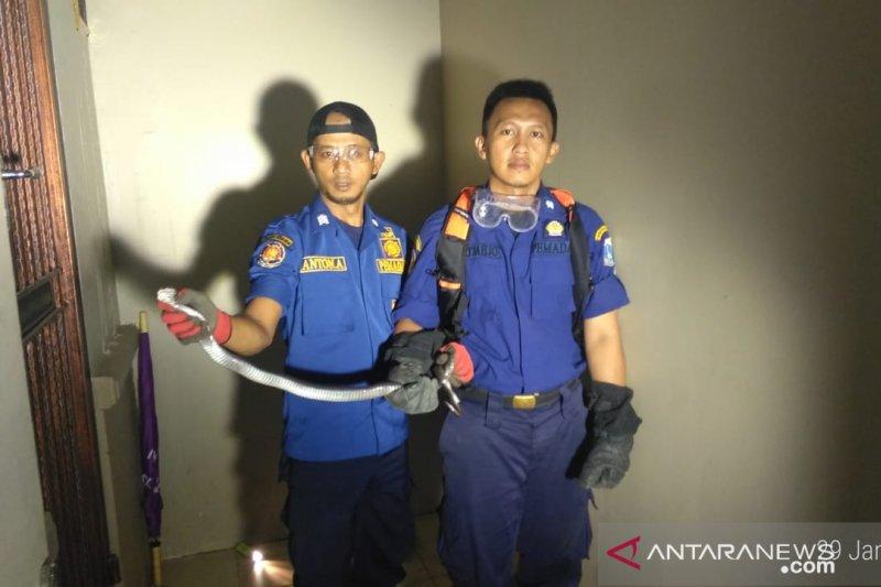 Ular kobra satu meter ditemukan di pemukiman warga Kebon Jeruk
