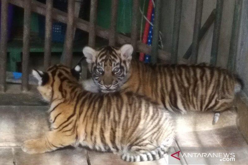 Sepasang anak Harimau Sumatera lahir dalam kondisi sehat di TMSBK Bukittinggi