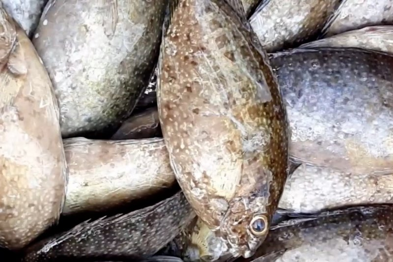 Ikan dingkis, menu hidangan saat Imlek langka di pasaran