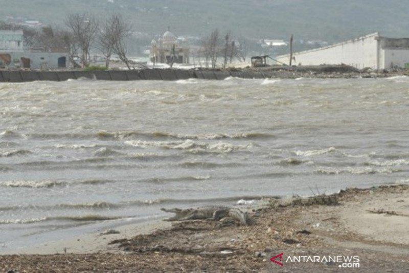 Buaya berkeliaran disekitar Sungai di Palu