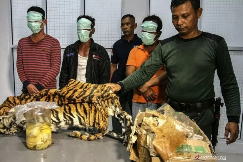 Perkembangan kasus kasus pembunuhan harimau dilimpahkan ke kejaksaan Pelalawan