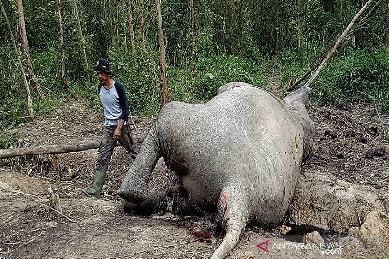 BBKSDA Riau kirim dua tim selidiki gajah mati di Bengkalis