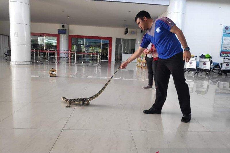 Polisi tangkap biawak yang masuk Bandara Djalaludin Gorontalo