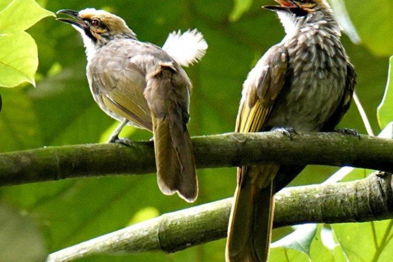 Indonesia saat ini miliki 1.794 spesies burung