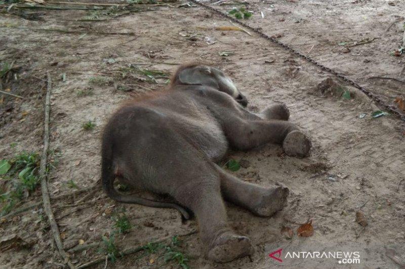 Bayi gajah sumatera mati di PLG Riau, begini kronologinya