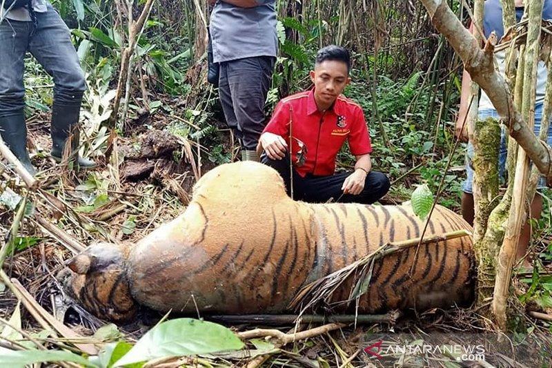 Seekor harimau mati kena jerat pemburu di Bengkulu