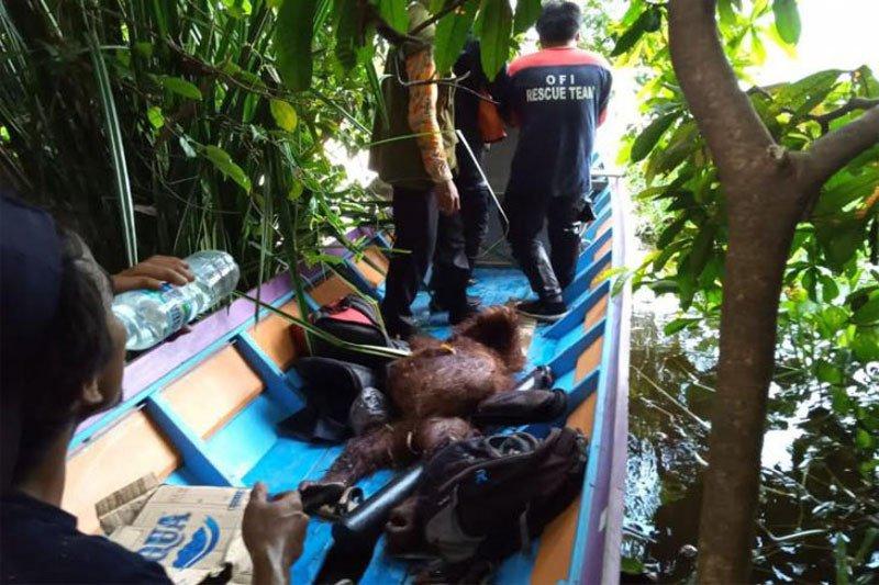 BKSDA Kalteng evakuasi dua orang utan berkeliaran di kebun warga