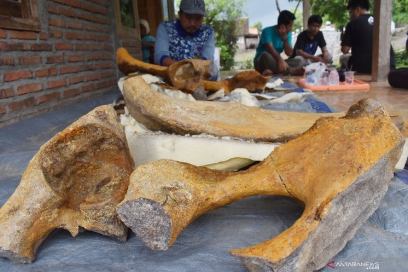 BPSMP Sangiran teliti temuan fosil panggul gajah purba di Madiun